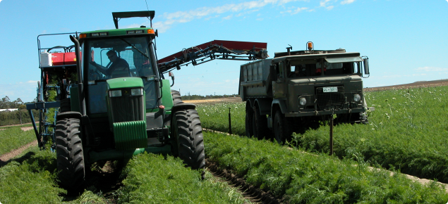 Carrots being mechanically harvested