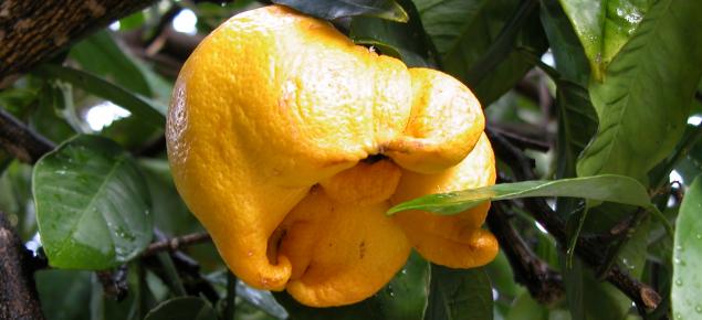 Lemon bud mite