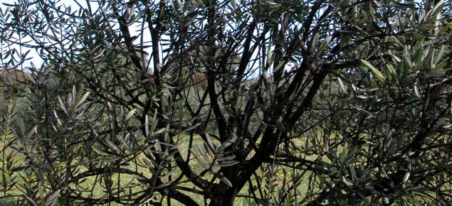 Black scale on tree