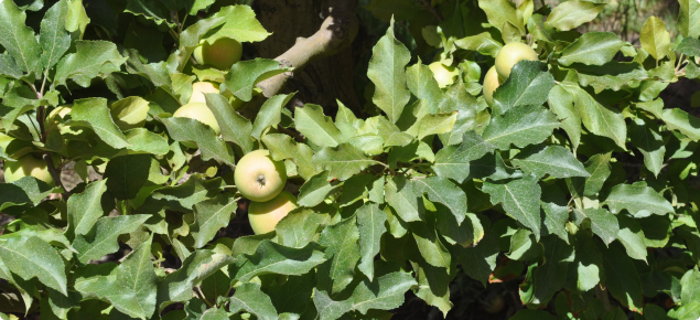 Yellowing of apple leaves indicates the presence of European red mite