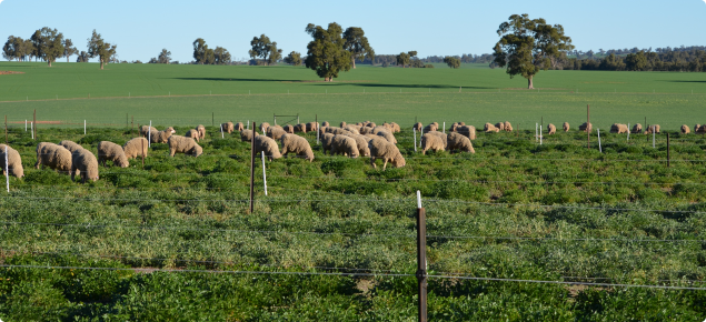 Grazing experiment at Dandaragan during winter