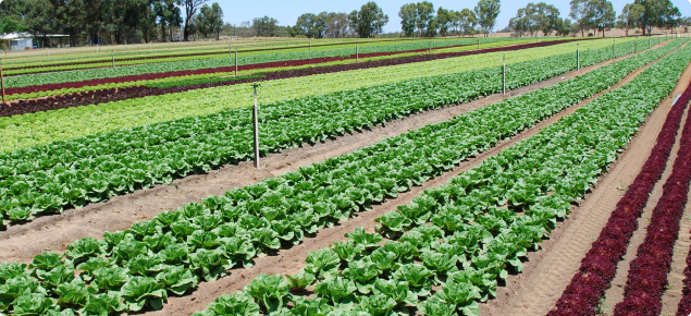 Mixed lettuce crops in Gingin