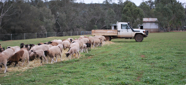 Sheep eating hay in a paddock