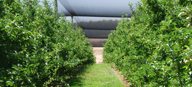 Under tree sprinkler irrigated apples with vigorous between row sod culture