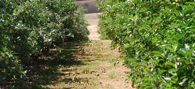 Drip irrigated apples with low between row sod culture