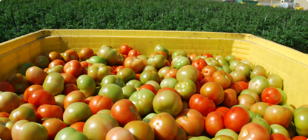 tomatoes in bin after picking