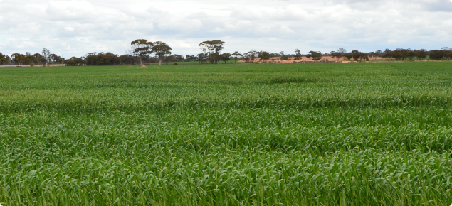 Panoramic scene of wheat trial plots at the Managed Environment facility.  Plants are at early heading stage and not suffering from any drought stress.