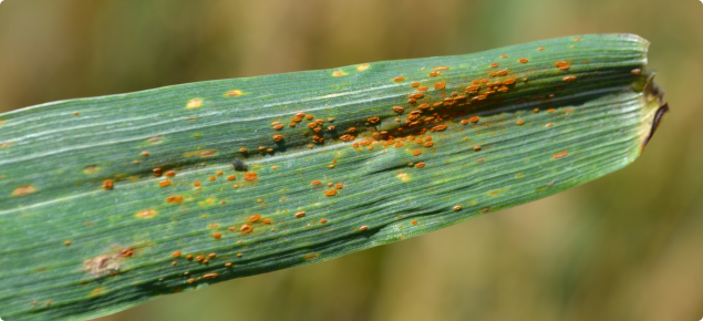 Orange leaf rust pustules infecting a wheat leaf