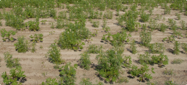 Poor lupin establishment in water repellent sand