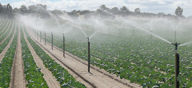 Cabbage grown in Gingin