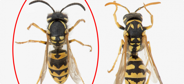 European wasp vs yellow paper wasp
