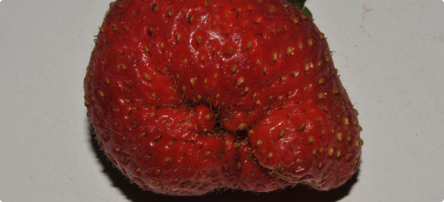 Cat-facing can be a sign of WFT damage in strawberries.