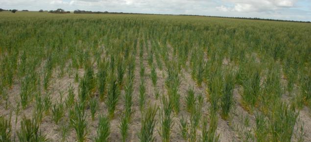 Poor wheat establishment on water repellent sandy gravel