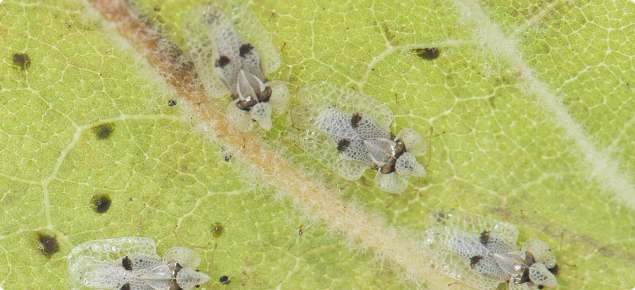 Sycamore lace bugs