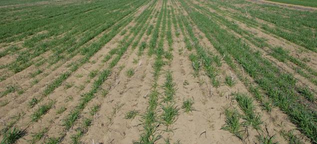 Poor crop establishment in water repellent deep yellow sand in the Chapman Valley
