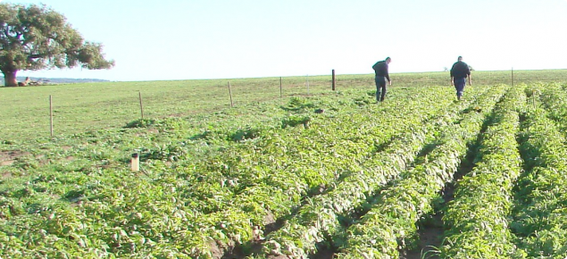 The first seed potato field inspection occurs before row closure