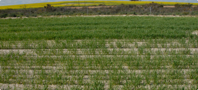 Wheat growth prior to head emergence in untreated soil in the foreground (sparse canopy) with growth in the mouldboard ploughed soil in the background (dense canopy).