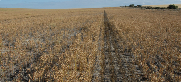 Lower density of mature lupins in untreated soil on the left side of the image compared with the higher density and larger size of lupins in the clayed area on the right side of the image.