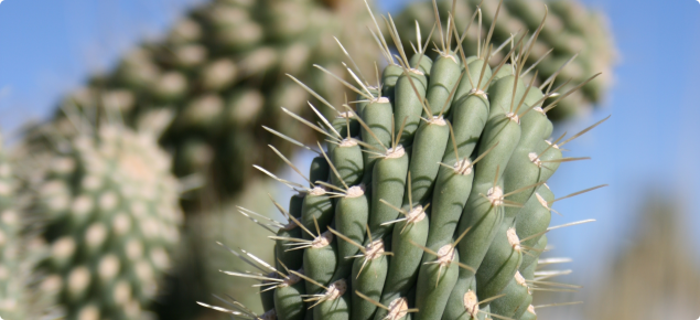 Cylindropuntia imbricata plant