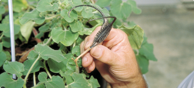Devils claw Proboscidea louisianica plant and seed