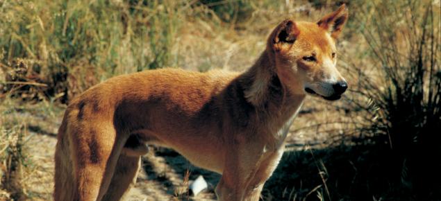 Image of a dingo