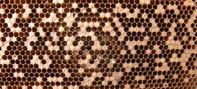 AFB diseased brood is characterised by cells that have been partially uncapped and with sunken caps.