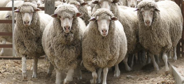 Sheep can be affected by anthrax