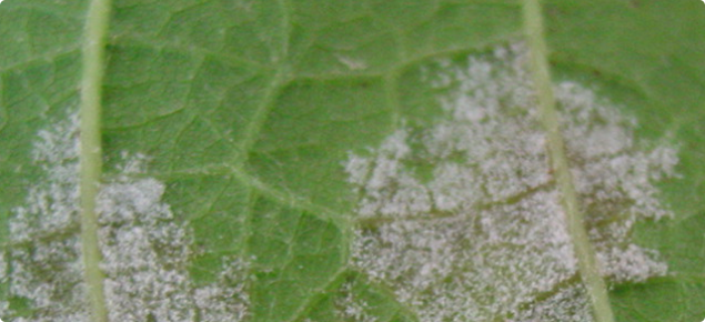 Downy mildew on grape vine leaf