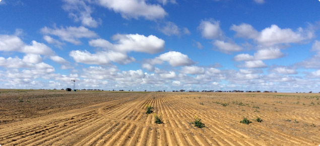 Photograph of a canola crop with patchy germination in a dry start to the season