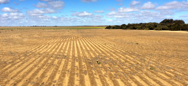 Photograph of a seeded canola crop in a dry season with poor germination