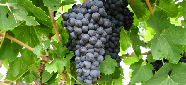 Durif wine grapes grown at Manjimup, WA