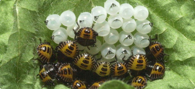Brown marmorated stink bug eggs and nymphs on leaf