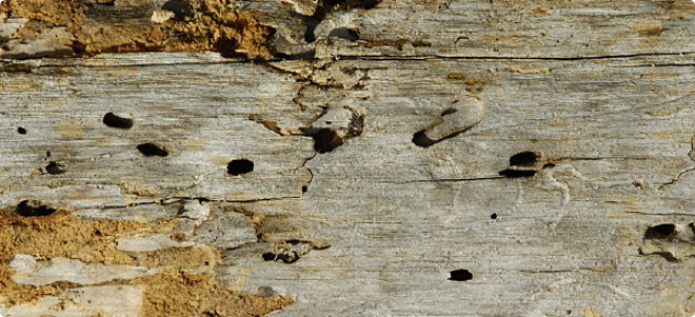 Oval-shaped exit holes. 5-10mm in length and running in line with the grain of the timber, where the adult beetle has emerged at the end of its larvae phase. Frass can sometimes be found under the exit hole.