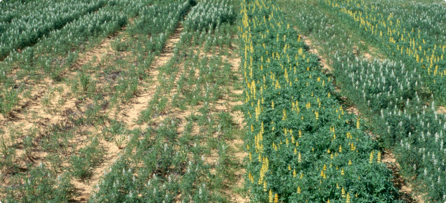 Eradu patch affecting narrow leafed lupin but not yellow lupin