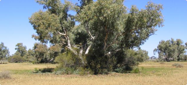 Eucalypt bush clumps on alluvial plain, Cyclops land system