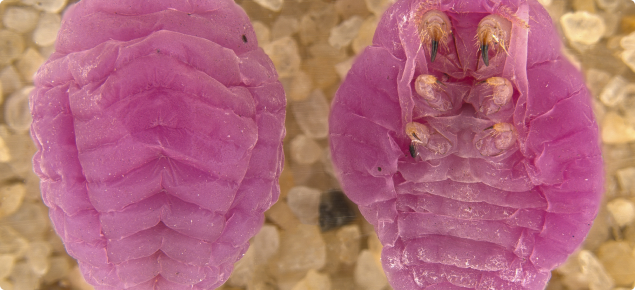 Top and underside view of pink ground pearls on sandy background.