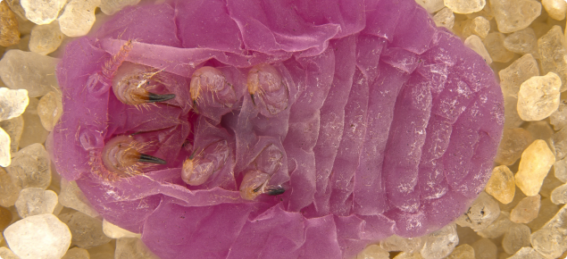 Underside view of pink ground pearls on sandy background.