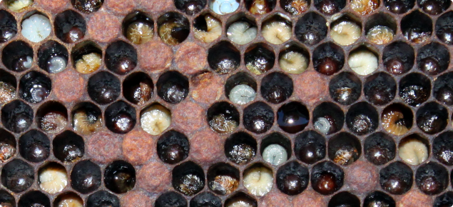 Bee larvae infected with European Foulbrood.