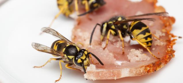 European wasps feeding on bacon