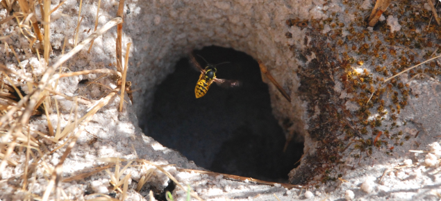 European wasps often have nest below ground, this images shows what an entry hole to these nests looks like.