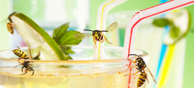 Black and yellow European wasps drinking from a cocktail