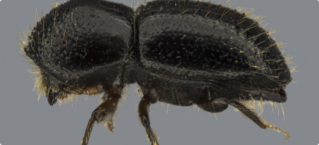 Euwallacea fornicatus lateral female
