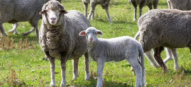ewe and lamb in paddock