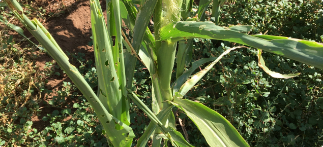Corn plant with fall armyworm damage
