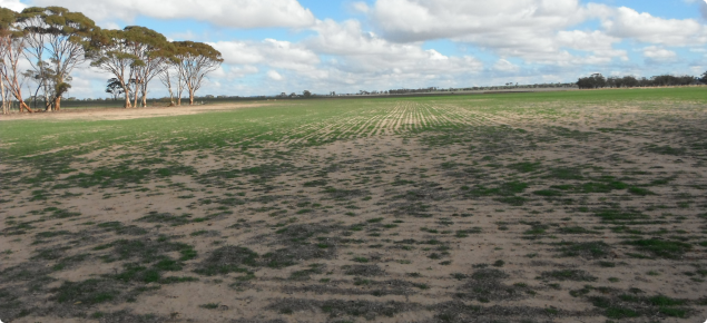 FOO too low and patchy for safe grazing