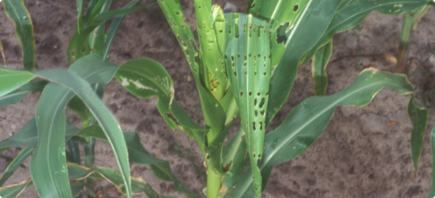 Corn plant with leaf damage (chew holes) caused by the fall armyworm - Photograph by Paul Choate, University of Florida