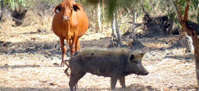 Feral pig and cow in the Kimberleys