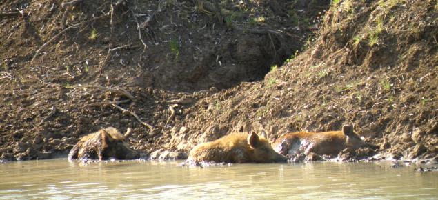Feral pigs in waterhole in the Kimberleys