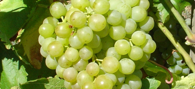 Wine grape at the beginning of bunch closure