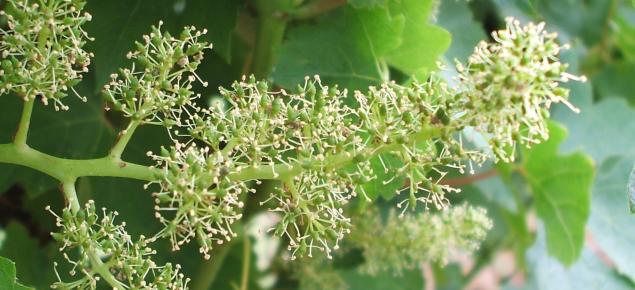 Wine grape at flowering